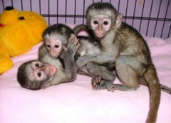 Adorable Capuchin Monkey Available